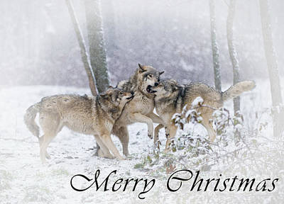 Photograph - Timber Wolf Christmas Card 14 by Wolves Only