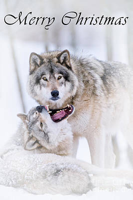 Photograph - Timber Wolf Christmas Card 16 by Wolves Only
