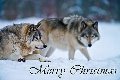 Photograph - Timber Wolf Christmas Card 17 by Wolves Only
