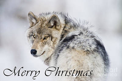 Photograph - Timber Wolf Christmas Card 19 by Wolves Only