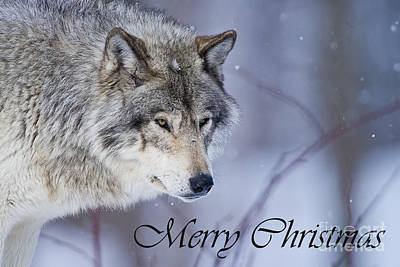 Photograph - Timber Wolf Christmas Card 3 by Michael Cummings