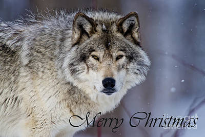 Photograph - Timber Wolf Christmas Card 4 by Michael Cummings