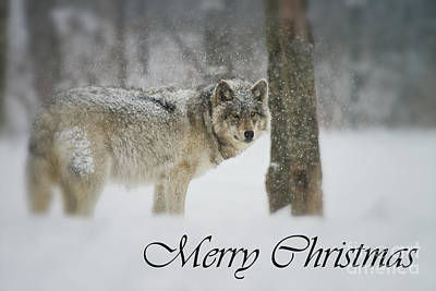 Wolves Mixed Media - Timber Wolf Christmas Card 5 by Michael Cummings