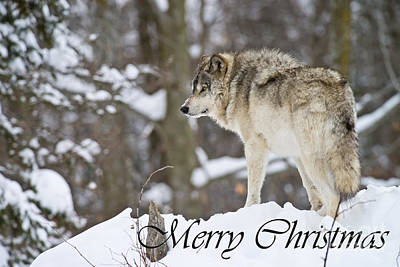 Photograph - Timber Wolf Christmas Card 6 by Michael Cummings