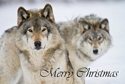 Photograph - Timber Wolf Christmas Card 7 by Michael Cummings