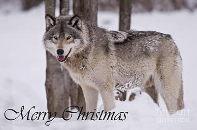 Animals Royalty-Free and Rights-Managed Images - Timber Wolf Christmas Card English 3 by Wolves Only