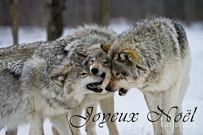 Photograph - Timber Wolf Christmas Card French 13 by Wolves Only