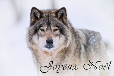 Photograph - Timber Wolf Christmas Card French 20 by Wolves Only