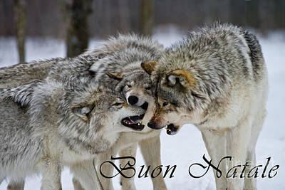 Photograph - Timber Wolf Christmas Card Italian 13 by Wolves Only