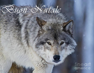Photograph - Timber Wolf Christmas Card Italian 18 by Wolves Only