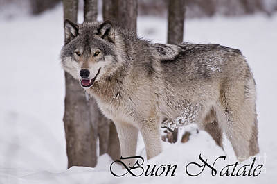 Typographic World Royalty Free Images - Timber Wolf Christmas Card Italian 3 Royalty-Free Image by Wolves Only