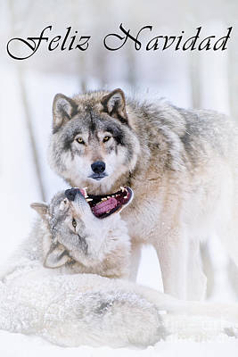 Photograph - Timber Wolf Christmas Card Spanish 16 by Wolves Only