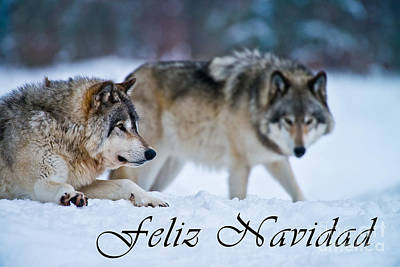 Photograph - Timber Wolf Christmas Card Spanish 17 by Wolves Only