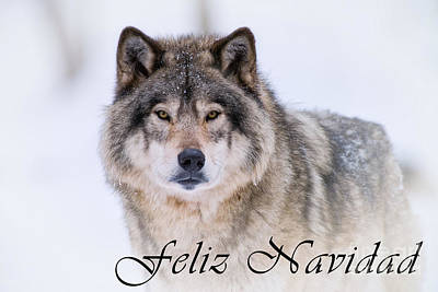 Photograph - Timber Wolf Christmas Card Spanish 20 by Wolves Only
