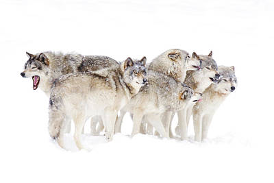 Animal Family Photograph - Timber Wolf Family by Jim Cumming