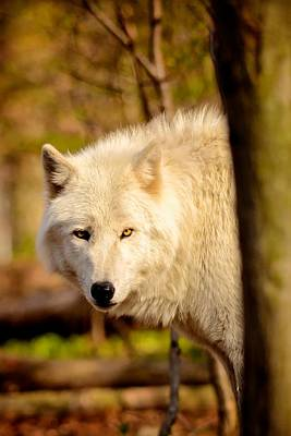 Timber Wolf Original