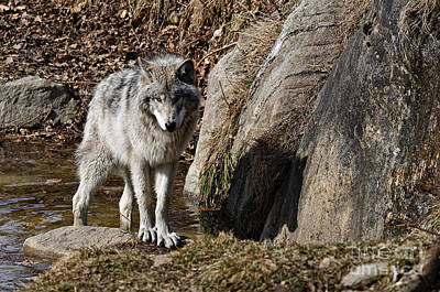 Art Print featuring the photograph Timber Wolf In Pond by Wolves Only