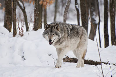 Print featuring the photograph Timber Wolf In Winter Forest by Wolves Only