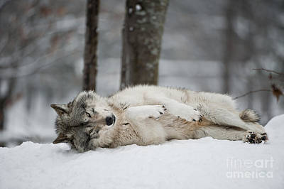 Timber Wolf In Winter Art Print