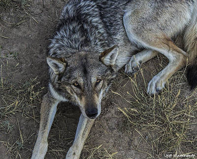 Photograph - Timber Wolf by Jeff Niederstadt