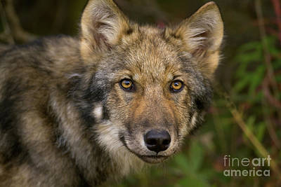 Timber Wolf Photograph - Timber Wolf In Denali by Yva Momatiuk John Eastcott