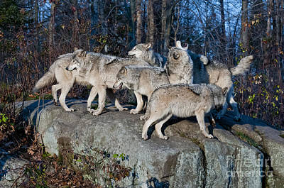 Timber Wolf Pack Art Print