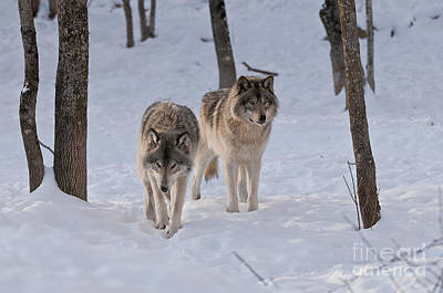 Print featuring the photograph Timber Wolf Pair  by Wolves Only