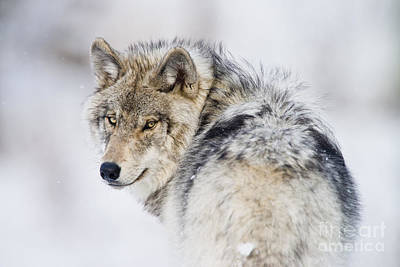 Timber Wolf Pictures 1268 Art Print by World Wildlife Photography