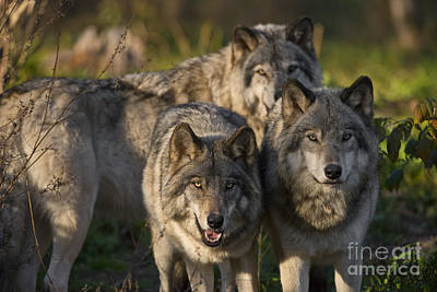 Photograph - Timber Wolf Pictures 182 by Wolves Only
