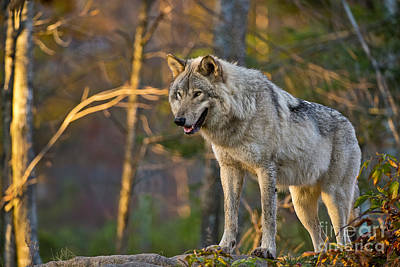 Photograph - Timber Wolf Pictures 183 by Wolves Only