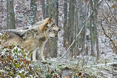 Photograph - Timber Wolf Pictures 184 by Wolves Only