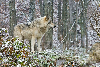 Photograph - Timber Wolf Pictures 185 by Wolves Only