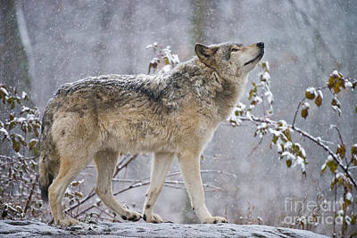Animals Royalty-Free and Rights-Managed Images - Timber Wolf Pictures 188 by Wolves Only