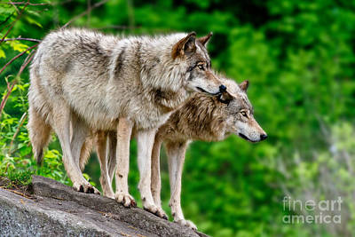 Photograph - Timber Wolf Pictures 191 by Wolves Only