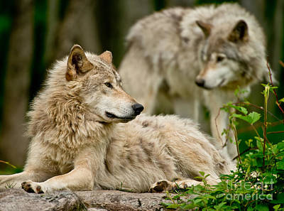 Photograph - Timber Wolf Pictures 192 by Wolves Only