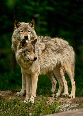 Photograph - Timber Wolf Pictures 194 by Wolves Only