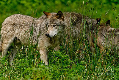 Photograph - Timber Wolf Pictures 196 by Wolves Only
