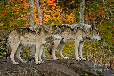 Photograph - Timber Wolf Pictures 197 by Wolves Only