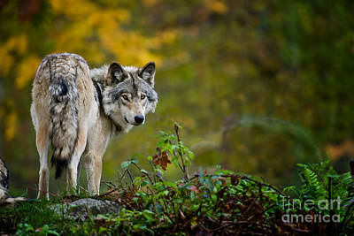 Photograph - Timber Wolf Pictures 198 by Wolves Only