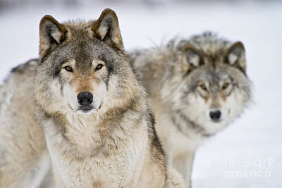 Photograph - Timber Wolf Pictures 248 by Wolves Only