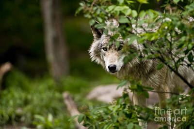 Photograph - Timber Wolf Pictures 249 by Wolves Only