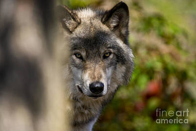 Photograph - Timber Wolf Pictures 250 by Wolves Only