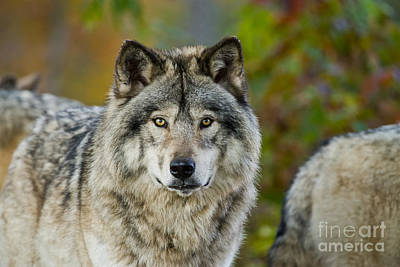 Photograph - Timber Wolf Pictures 253 by Wolves Only