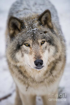 Timber Wolf Pictures 254 Art Print