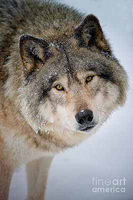 Animals Royalty-Free and Rights-Managed Images - Timber Wolf Pictures 255 by Wolves Only