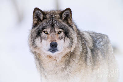 Animals Royalty-Free and Rights-Managed Images - Timber Wolf Pictures 256 by Wolves Only