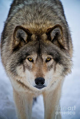 Photograph - Timber Wolf Pictures 258 by Wolves Only