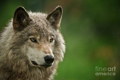 Photograph - Timber Wolf Pictures 261 by Wolves Only