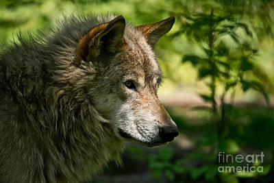 Animals Royalty-Free and Rights-Managed Images - Timber Wolf Pictures 263 by Wolves Only