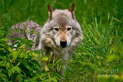 Photograph - Timber Wolf Pictures 265 by Wolves Only